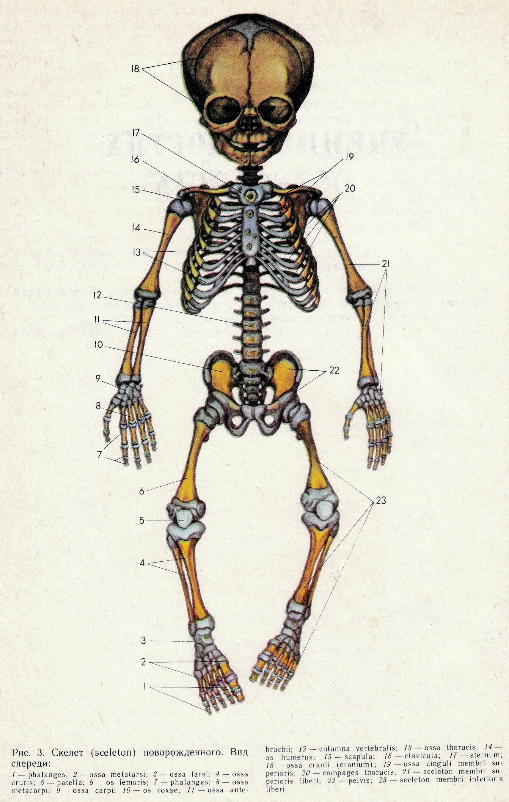 Скелет грудного ребенка фото с описанием